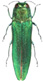EAB insect websize